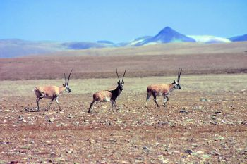 Wild gazelles on the Tibetan plateau.(Martin Scott)